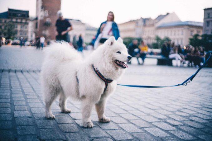 pies w Krakowie