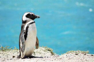 15 Fascynujące Ciekawostek o Pingwinach